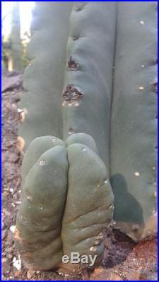 Trichocereus spineless Scopulicola 31 with 4 rib basal branch