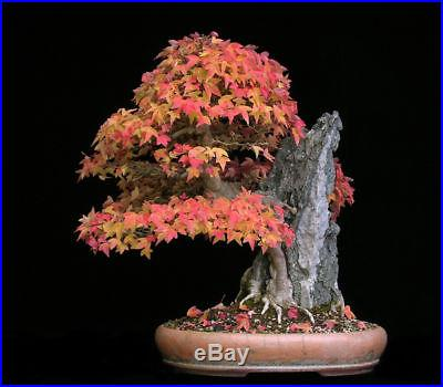 Trident Maple, Acer buergerianum, Tree Seeds (Fall Colors)