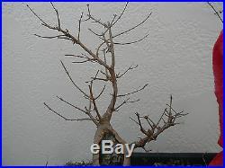 Trident Maple Bonsai! Fat trunk tree Good Nebari Will make a Great Shohin