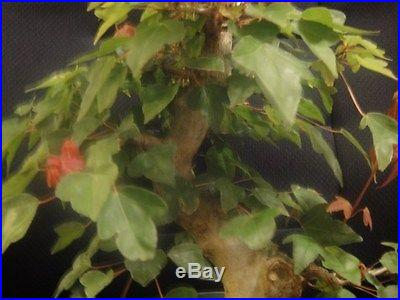 Trident Maple Bonsai Specimen Material Shohin