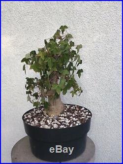 Trident Maple Bonsai Stock(9tri730st)nice Trunk, taper