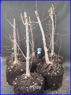 Trident Maple Bonsai Stock Trees