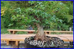 Trident Maple Pre Shohin Bonsai