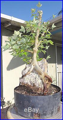 Trident Maple Root Over Rock Stone Pre Bonsai Kifu Big Trunk