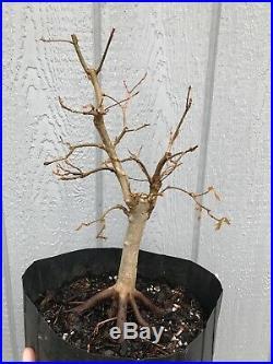 Trident Maple Tree #17 Pre Bonsai Stock