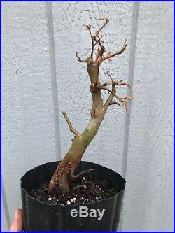 Trident Maple Tree #19 Pre Bonsai Stock