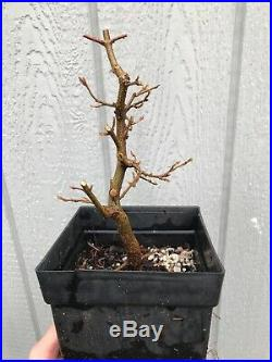 Trident Maple Tree #5 Shohin Pre Bonsai Stock