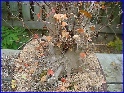 Trident Maple advanced bonsai stock