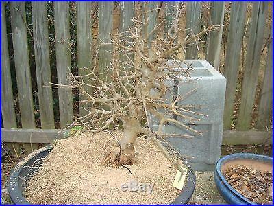 Trident maple NINGPOENSE bonsai stock rare air layer