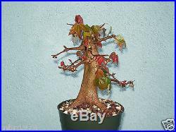 Trident maple bonsai stock(5tri917)Nice trunk, shohin size