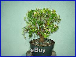 Trident maple bonsai stock(7tri622)Nice broom style trident, good start