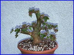 Trident maple bonsai stock(9tri524st)Nice size, movement, shohin
