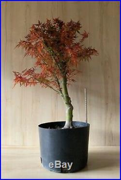 True Dwarf Japanese Maple Kuro Hime Bonsai BIG Thick Trunk Specimen Nebari
