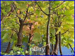 Unique Bonsai Trident Maple Forest