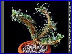 VERY LARGE and Stunning Sarcocaulon Crassicaule Plant / Caudex / Succulent