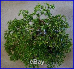 VERY OLD! (50 years) Dwarf Black Olive REDUCED FOR CHRISTMAS