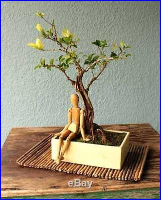 Varigated Ligustrum Howardi Bonsai Tree