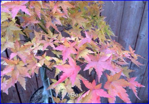 Very Nice Green Japanese Maple Bonsai Tree Large Bonsai Tree Kifu Nice Nebari