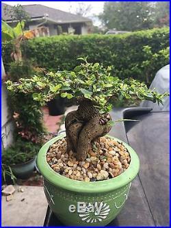 Very Old Black Olive Bonsai Tree