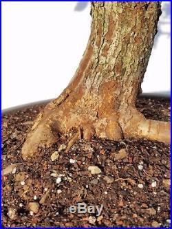 Washington Hawthorn Bonsai Tree