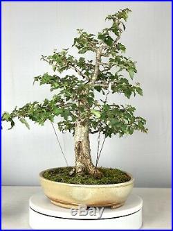 Washington Hawthorn Bonsai Tree Ross Adams Pot