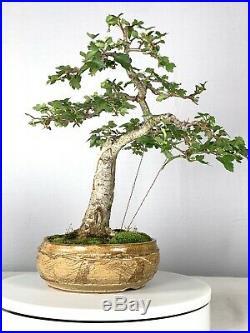 Washington Hawthorn Bonsai Tree Sonny Boggs Pot