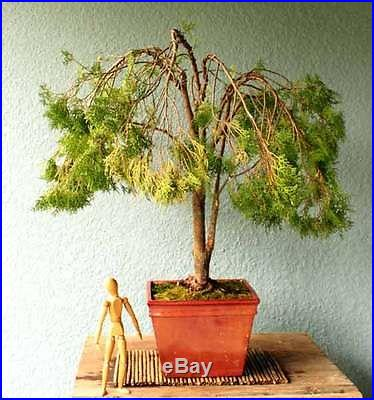 Weeping Canadian Lace Cypress Arborvitae Bonsai Tree