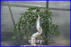Weeping Chinese Elm Bonsai Tree