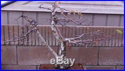 White Birch Bonsai Tree