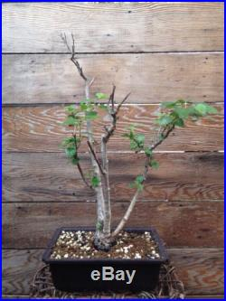 White Birch Bonsai (triple Trunk)