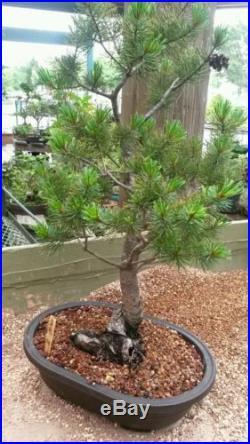 White Pine Bonsai Tree #364