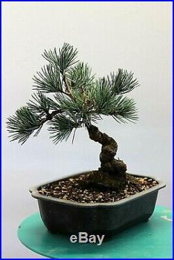 White Pine bonsai tree