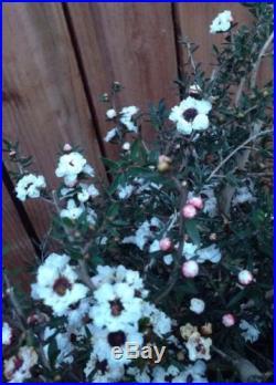 White Tea Tree NICE SPECIMEN Flowering Pre Bonsai Big Tree! Thick Trunk