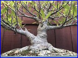 Willow Leaf Nerifolia ficus bonsai specimen