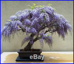 Wisteria BONSAI Tree KIT 3 Fresh Seeds/ Fertilizer / Instruction