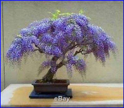 Wisteria Bonsai Kit Grow Your Own Bonsai-Seeds/Pots/Soil/Instructions/Wire