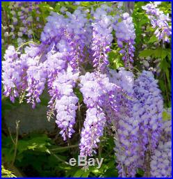 Wisteria Sinensis Blue Pre Bonsai Dwarf Kifu Big Fat Trunk Purple Flowers