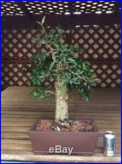 Yamadori Oak Bonsai