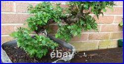 Yamadori hawthorn bonsai tree 2 1/2 dia twisted trunk