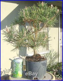 Yatsufusa Japanese Black Pine Pre Bonsai Dwarf Shohin Big Fat Trunk