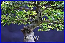 Yaupon Holly (Ilex vomitoria) bonsai medium size