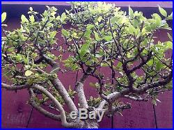 Yaupon Holly bonsai specimen