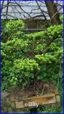 Indoor Bonsai Yes Bonsai Tree