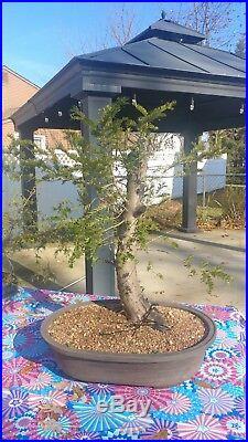 Yew pre bonsai, taxus tree
