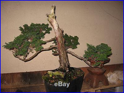 You Get What You See // 24 yr. Japanese Hinoki Cypress /